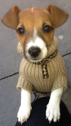 Find out all about why Jack Russels make perfect little companions.