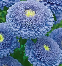 Russian Aster 'Pompom Blue' ◦●◦ ჱ ܓ ჱ ᴀ ρᴇᴀcᴇғυʟ ρᴀʀᴀᴅısᴇ ჱ ܓ ჱ ✿⊱╮ ♡ ❊ ** Buona giornata ** ❊ ~ ❤✿❤ ♫ ♥ X ღɱɧღ ❤ ~ Sa 21st Feb 2015
