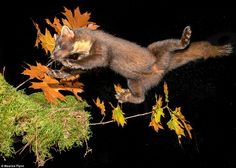 Leaping to victory: A pine marten jumps between trees in County Waterford in this incredib...