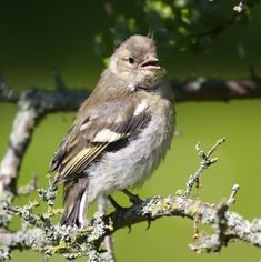 Project Noah is a tool that nature lovers can use to explore and document local wildlife and a common technology platform that research groups can use to harness the power of citizen scientists everywhere. Chaffinch, Bird Species, Habitats, Evolution, Wildlife, Birds, Garden, Nature, Animals