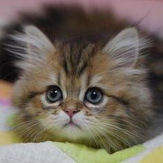 Beautiful Kittens, Pretty Cats, Animals Beautiful, Kittens And Puppies, Cute Cats And Kittens, Kittens Cutest, White Kittens, Cute Baby Cats, Cute Baby Animals