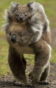 ♥ koala bear