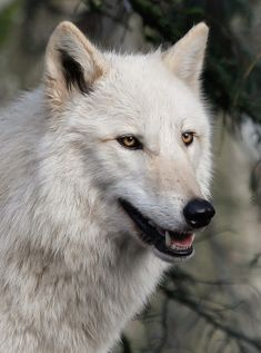 Wolves Photograph - Smiling White Arctic Wolf by Athena Mckinzie Arktischer Wolf, Wolf Pup, Wolf Love, Wolf Images, Wolf Pictures, Cute Animal Pictures, Beautiful Wolves, Animals Beautiful, Cute Animals