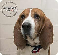 URGENT!  I am at a kill shelter in Troy, OH - Coonhound. Meet Jed a Dog for Adoption.