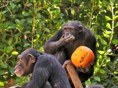 Common Chimpanzees at the Bioparc Fuengirola, Malaga, Halloween, 2014. (Source Facebook of Bioparc Fuengirola)