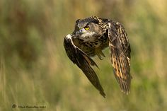 Eagle Owl by Dave Ovenden on 500px