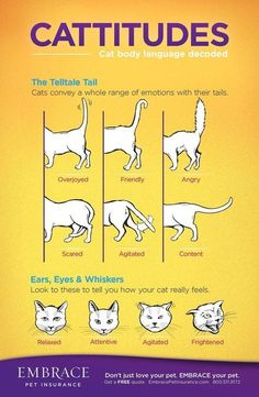 Bengal Cat Facts WHY DO CATS MEOW? Top Reasons Your Cats Meow! - Tuxedo cats are very sophisticated cats. In reality, these cats are absolutely among the best-dressed animals you can find. Tuxedo cat have unique pattern Cat Body, Gato Gif, Cat Info, Cat Hacks, Cat Diys, Kitten Care, Love Your Pet, Cat Behavior, Crazy Cats