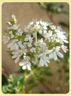 Flower of coriander, Flor de cilantro, cosecha, jardín, garden.