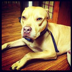 It's national dog day! This is my Gunner from back home. The most gentle doggy soul. And with that come see us tonight for our Tuesday residency @Gypsy Lounge! 9PM. #nickandpaige #atx #nationaldogday #pitbull #pittbulllove #ilovemydog #gypsylounge #eastside