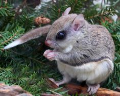 Winter Survival Strategy of Flying Squirrels | Naturally Curious ...