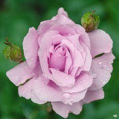 Memorial Day™ Rose — Green Acres Nursery & Supply