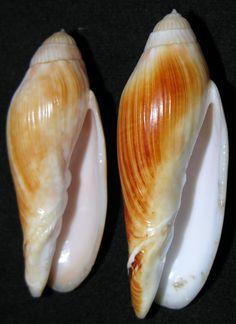 Volutoconus multiformis Bail & Limpus, 2013   - C.Carvalho