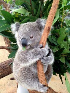 Koala Joey by jocelyn