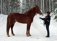 Finn horse or Suomenhevonen in Finnish, chestnut stallion.