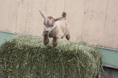 Naughty baby goat--there's nothing cuter than baby goat binkies!!