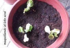 """Cultivo de lechugas """"maravilla de verano"""""""