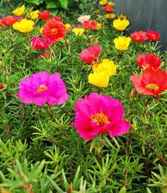 Portulaca grandiflora.Low-maintenance plants: Portulaca. A great annual flower for hot, dry beds near a driveway or other sun-baked site, portulaca is as fuss-free as they come. It is bright and cheerful, creeping happily along hot spots and flowering all summer. It rarely needs to be watered, and it often reseeds in the garden. #sunworeshipper #colourfulgarden