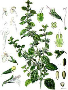 Citronmeliss - Shenet