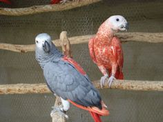 How the Red African Grey was bred:  By breeder Hennie Diedericks  In the late ninety's a lot of African Greys were imported by Jaco Bosman, at that time the biggest exporter and importer in South Africa. All birds with red feathers were taken to Vonk van Antwerpen who then selected the ones he thought carried the red genes.  He then bred these birds to one another and came up with some birds with red feathering.  Some of the birds had just a few red feathers, which he called 'Single…