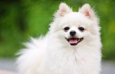 White Pomeranian Puppies, Pomeranian Breed, Samoyed Dogs, Pomeranians, Spitz Dogs, Japanese Spitz, Baby Dogs, Cute Baby Animals, Dog Life