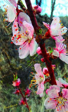 Peach Blossoms on a Windy Day by Anastasia Savage Ealy Apricot Blossom, Peach Blossoms, Windy Day, Savage, Anastasia, Greeting Cards, Wall Art, Spring, Plants