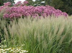 Autumn hues: Calamagrostis brachytricha with Eupatorium mac. and Echinacea pallida.