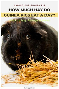 So, you are planning to get a pair of guinea pigs or already have some, and you might be wondering how much hay do guinea pigs eat a day? What size of the bag should you buy, or how much will it last? Even I had all these questions in my mind when I first got my guinea pigs. And after keeping a bunch of them for several years, I think I can get you a close idea of what to expect. #guineapig #guineapighayrequriment #guineapighay #smallpets #pets Guinea Pig Food, Pet Guinea Pigs, Guinea Pig Care, Guinea Pig Information, Pigs Eating, Cat Bath, Pet Care Tips, Pet Lovers, Your Pet