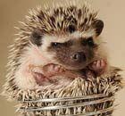Hedgehog on hay!