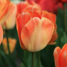 Topped with glowing blooms in shades of apricot, yellow, and orange, this tall and hardy tulip blossoms in mid-spring, bringing a soft fragrance to th Red Tulips, Daffodils, Spring 2016, Daydream, Bulbs, Glow, Fragrance, Peach, Coral