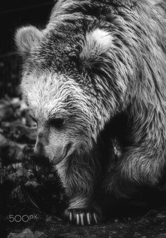 Bear - Bear in the zoo. In The Zoo, Brown Bear, Photography, Animals, Animais, Fotografie, Animales, Animaux, Photography Business