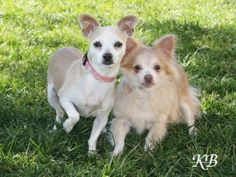 BEE BEE is an adoptable Chihuahua Dog in Omaha, NE. Hi there I'm Bee Bee! An adorable name for an adorable dog. I am a shy little girl, but as gentle and loving as can be. I am starting to come out of...