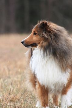 "Shetland Sheepdog ... ""I am a sheltie and yes, I am very beautiful."""