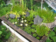 6月に植えて、2ヶ月。モウこんなに、茂りました。カエルだらけの池で姫スイレンN,ピグマエアヘルウォラもきれいに咲き続けてます。