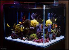 July 2010 nTOTM – Pan_Natan's 35 Gallon NPS tank. - Reef Central Online Community