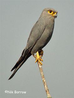 Grey Kestrel (Falco ardosiaceus) Africa