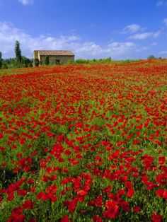 Poppie fields near Montepulciano, Tuscany, Italy