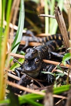 Baby Alligators - Florida Everglades