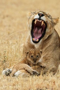 Lion cub and mom