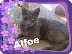 Pictures of Alfee a Domestic Shorthair for adoption in Salisbury, NC who needs a loving home.