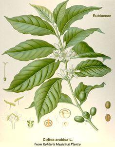 Arabica Coffee Plant Great looking desert plants