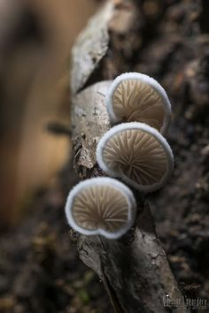 Crepidotus Sp Forest Path