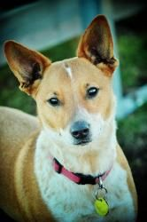 Tanner is an adoptable Basenji Dog in Elida, OH. ***Images are copyright of JMC Photography*** Tanner is a possible Basenji mix and just turned 1 year old. He was returned to us because his owner had ...