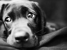 Black Labrador just waiting to play.