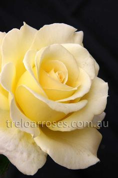 Treloar Roses - ELINA - STANDARD. This looks like it's made out of butter!