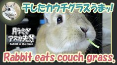 干したカウチグラスうまッ!【ウサギのだいだい 】 2017年4月3日