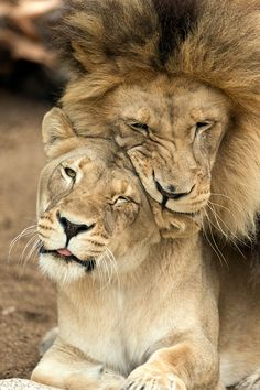 — sdzoo: Our power couple, Etosha and M'bari, have...