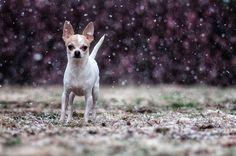chihuahua in the rain like it should be.