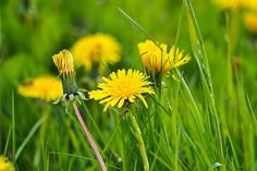 A napsárga pitypang   Gyógyszer Nélkül Taraxacum Officinale, Dandelion Flower, Passion Flower, Ficus, Blossom Flower, Flower Seeds, Shade Garden, Do Anything, Nature