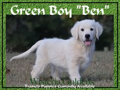 """Halo's Green Boy """"Ben"""" """"Starter"""" trained Puppy (Halo/Ego Litter Born 08-14-2014) Ben is a happy, sweet """"teddy bear"""" boy. He is a curious, confident boy, who likes to explore. He is friendly, affectionate, outgoing, and loves his toys and to pile into your lap for cuddles. He is a smart boy with good focus and is treat and praise motivated. He is doing very well with READ MORE http://wisteriagoldens.com/trained-puppies/"""