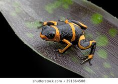 poison dart frog Ranitomeya imitator, a poisonous animal from the Amazon rain forest in Peru and Ecuador Pretty Animals, Cute Animals, Frog Pictures, Frog Pics, Frosch Illustration, Poisonous Animals, Poison Dart Frogs, Frog Art, All About Animals